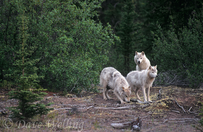 694922543 three wild adult gray wolves canis lupus explore their boreal forest home in the northwest territories canada