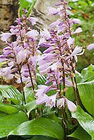 Hosta Invincible in bloom