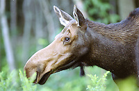 A young moose stops to munch on ferns along side the highway in New Hampshire's White Mountains.