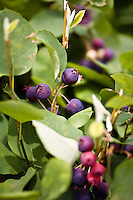 Serviceberry (Amelanchier) : Ripe berries