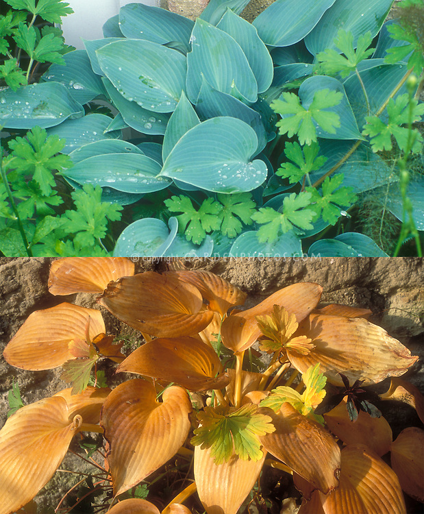 Hosta Halcyon with Geranium in two stages, summer blue foliage and biscuit tan brown in autumn fall foliage