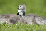 Chicks of Barnacle Goose, Branta leucopsis, Leeds Castle grounds, Kent UK