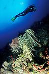 Adiver looks on at a slimy sea plume: Pseudopterogorgia americana