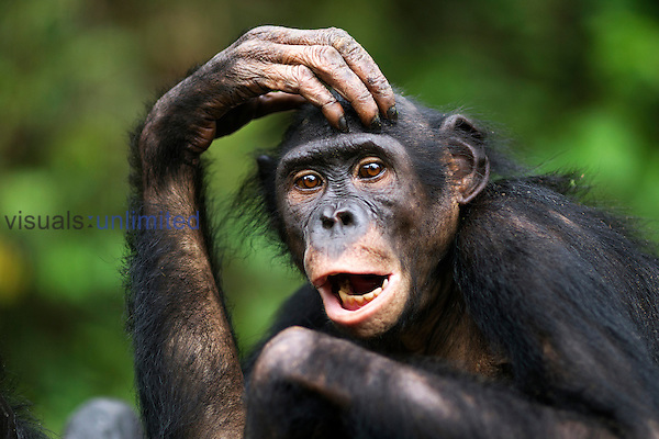 Bonobo young female (Pan paniscus), Lola Ya Bonobo Sanctuary, Democratic Republic of Congo.
