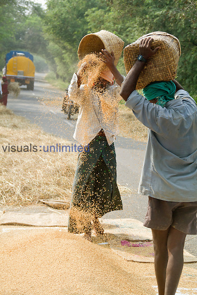 In rural India farmers often put the harvested rice stalks on the road and let cars run over it to thrash the rice and then winnow using the wind, Tamil Nadu, India.