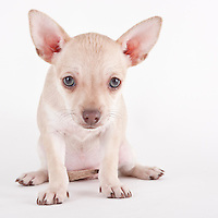 Chihuahua mix puppy sitting on white seamless background photographed while waiting for adoption at the humane society.