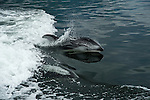 Dolphins swimming in the boats wake