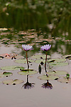 "Water lilies bloom on the ""Birthday Pond"" at Peaceable Kingdom. Peaceable Kingdom is a 250-acre site with 7 acres of themed gardens chocked full of blooms, crops and architectural elements. There's a kitchen garden, a berry patch, a spiral garden, a cottage garden, a butterfly garden, barns, ponds and twig structures.  (Friday, April 25, 2008, in Houston. ( Steve Campbell / Chronicle)."