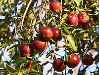 apple, apple tree,  food, fruit, fruit tree, malus, orchard, ripe, ripe fruit, ripe apples, red apples,