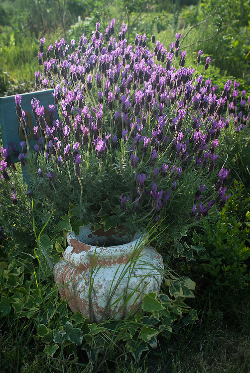 French lavender (Lavandula<br /> stoechas) on neighbourhood allotment site, late May.