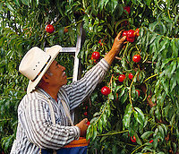 Agriculture - Field worker harvesting nectarines / Fresno County, California, USA.  MR