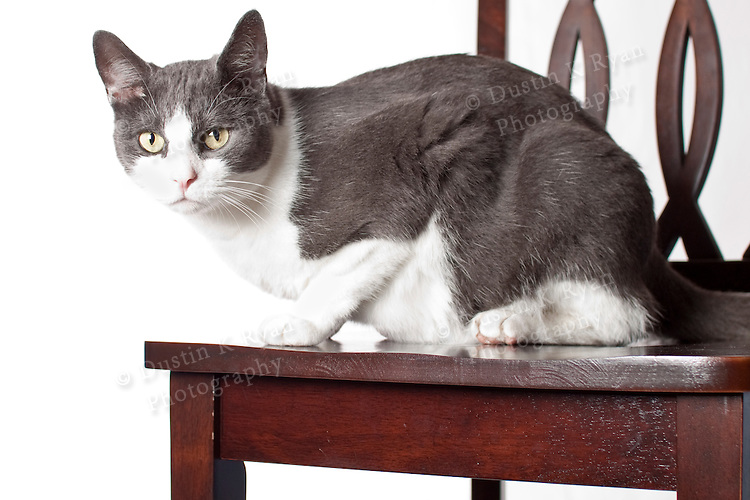 Grey and white house cat feline sitting on a chair high key