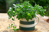 Fresh oregano herbs
