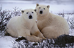 Portrait of a polar bear couple, Canada