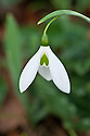 One-spotted Elwes's snowdrop (Galanthus elwesii var. monostictus), late February.