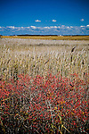 Winterberries in The Great Marsh, Barnstable, Cape Cod, MA