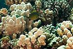 Oval Chromis, Chromis ovalis, Molokai Hawaii