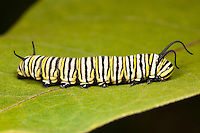 Monarch Butterfly (Danaus Plexippus) caterpillar (larva) 5th instar on a Milkweed plant leaf, Ward Pound Ridge Reservation, Cross River, Westchester County, New York