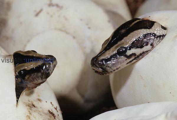 Burmese Python hatching from egg ,Python molurus ceylon,