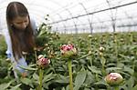 Foto: VidiPhoto<br /> <br /> SLIJK-EWIJK - De vijftienjarige Mariet Bunt uit Slijk-Ewijk plukt dinsdag voor schooltijd de eerste 'rijpe' pioenen. Vader Frederik is fruitteler (pruimen), maar heeft zo'n 80.000 stelen staan voor wat 'cash flow' in een periode dat er in het bedrijf weinig verdiend wordt. Door het koude voorjaar komt de oogst echter te laat voor moederdag. Bovendien wordt de markt op dit moment overladen met pioenrozen uit Frankrijk. Omdat de oogst daar op z'n eind loopt, hoopt Bunt alsnog zijn slag te slaan voor de Franse moederdag op 28 mei. Het telen van pioenen en pruimen lijkt bovendien veel op elkaar, vindt Bunt. Ze zijn beiden zeer gevoelig voor het weer en hebben een goede voedingsbodem nodig. De eerste pioenen, zogenoemde voorlopers, zijn voor de verkoop aan huis.
