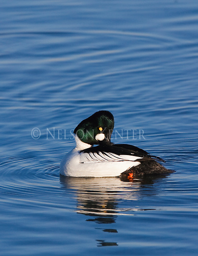 A Goldeneye drake on a pond in Montana preening his feathers
