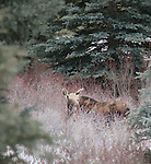 A moose is seen in tall grasses near Moose Meadows in Banff National Park, Alberta Canada.