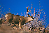 Mule deer (Odocoileus hemionus)buck in fall during rut