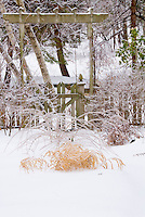 Hakonechloa macra Aureola in winter snow and ice, with stems of Kolkwitzia Dream Catcher behind it, and foliage of Physocarpus Coppertina at top left, dwarf Syringa (lilac) and Aster at right, and picket fence and trellis . Note that Physocarpus 'Coppertina' aka Mindia is called Physocarpus opulifolius 'Diable D'Or' aka Mindia in Europe.