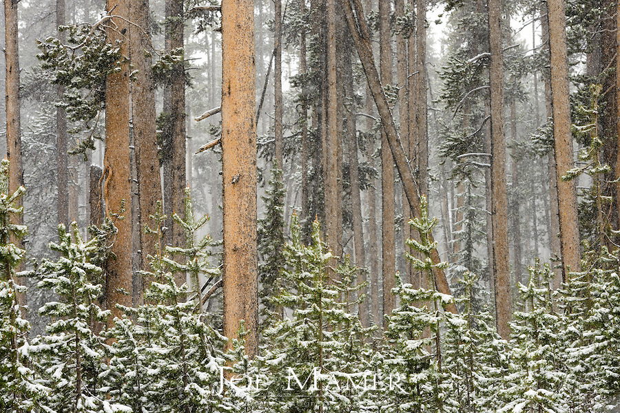 A stand of snow covered conifer forest in Yellowstone National Park after June snowfall.
