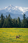 Sequim, Wahington; a Columbian black-tailed deer (Odocoileus hemionus columbianus) stands in a field of yellow wildflowers with pine trees and snow covered Olympic mountains in the background