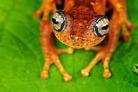Tree Frog (Boophis tephraeomystax) (Boophis difficilis}, adult, Andasibe-Mantadia National Park, Madagascar