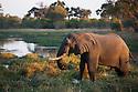 Botswana, Okavango Delta, Moremi Game Reserve,  African elephant (Loxodonta africana) feeding on grass on river shore