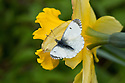 Female orange-tip butterfly (Anthocharis cardamines) on a daffodil, mid April.