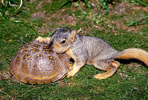 Baby eastern fox squirrel, Sciurus carolinensis, lays his head on the shell of a box turtle in an affectionate moment