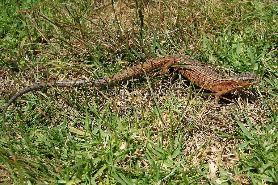 Alligator Lizard