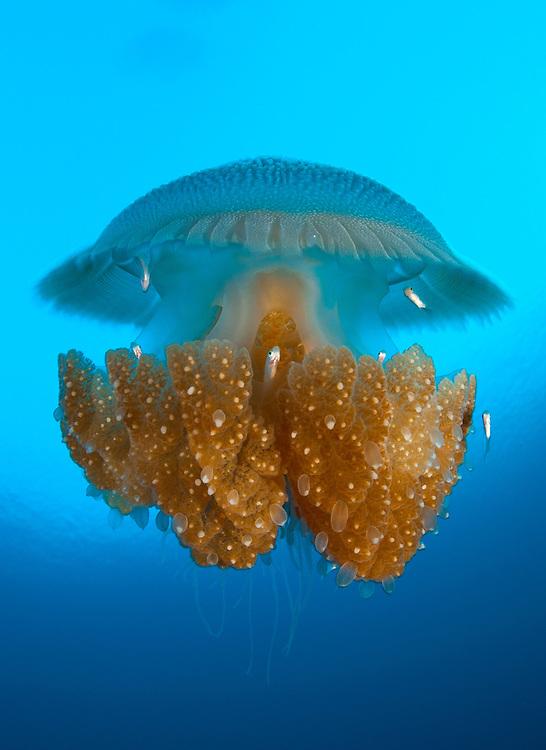 Thysanostoma thysanura jellyfish, Tulamben Bali