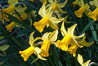 Daffodils February Gold (Narcissus) in early spring bulb bloom