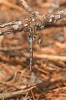 339610001 a wild male springtime darner basiaeschna janata perches on a fallen pine branch near caddo lake in marion county texas
