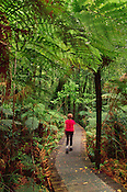 Hiker among tree ferns, Waipoua Sanctuary, New Zealand