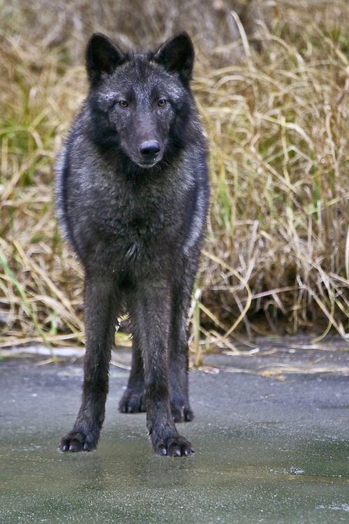 Grey Wolf standing on a frozen pond - CA