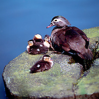 Wild Female Wood Duck (Aix sponsa) resting with Young Ducklings on a Rock beside Water - North American Birds and Ducks