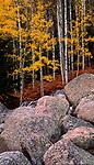 Aspens sport an autumn gold color in Rocky Mountain National Park, Colorado.