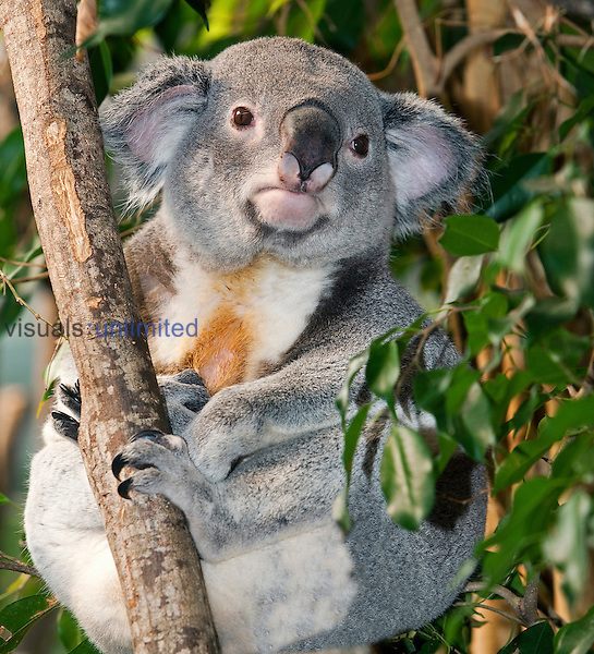 Koala male (Phascolarctos cinereus), Australia