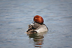 Redhead Drake on a pond in Montana