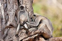 Indian Langur monkeys, Presbytis entellus, grooming in Banyan Tree in Ranthambore National Park, Rajasthan, India