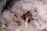Deer mouse in nest
