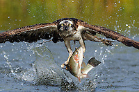An osprey grabbing a trout from a pond