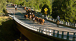 Buck Meadows, California June 15, 2005..Erickson Cattle Company drive cattle from Buck Meadows to Packard Canyon...Al GOLUB/Golub Photography.