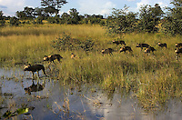 Pack of wild Cape hunting dogs (Lycaon pictus) crossing a flooded grassland.