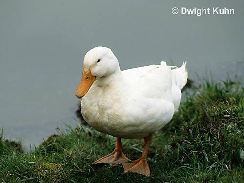 DG20-090z  Pekin Duck - adult on pond bank